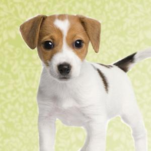 Puppy - Proefpakketje op maat